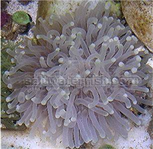 Plate Coral - Long Tentacle