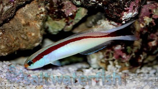 Redlined Tilefish