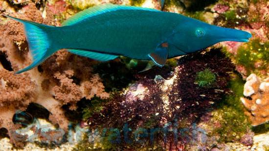 Green Bird Wrasse Wrasses Saltwater Fish
