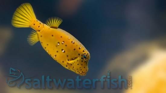 Cubicus Boxfish
