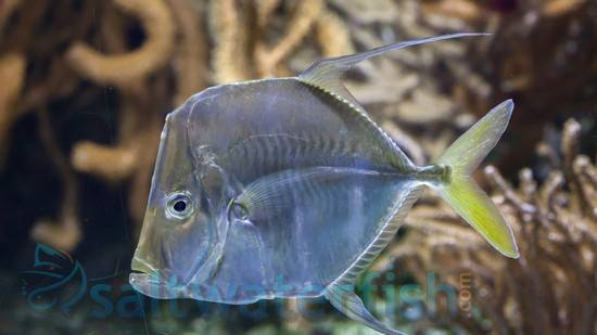 Look Down Fish - Captive Bred