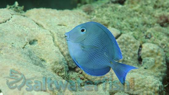 Atlantic blue tang for Blue tang fish facts