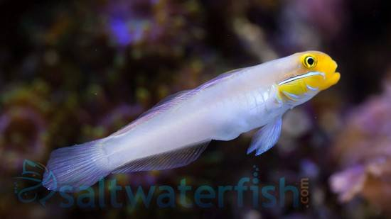 Golden Headed Sleeper Goby - Fiji - MAC Certified