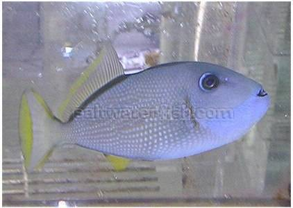 Blue Throat Trigger Female Triggers Saltwater Fish