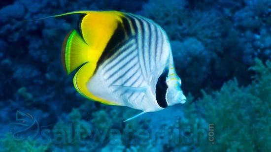 Threadfin Butterfly