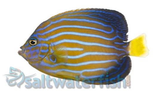 Blue Line Angelfish
