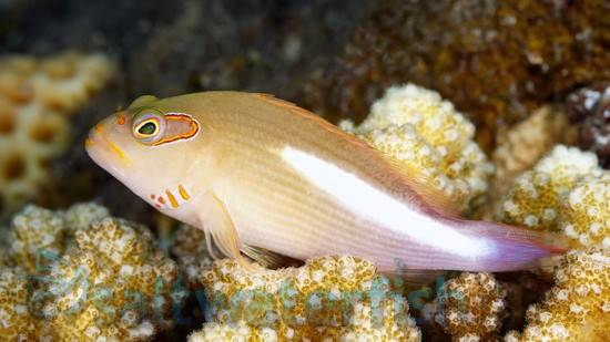 Hawkfish | Arc Eye Hawkfish