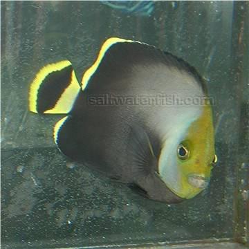 Grey Poma Angelfish