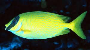 Blue Lined Rabbit Fish