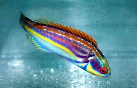 Labout's Fairy Wrasse - Melanesia