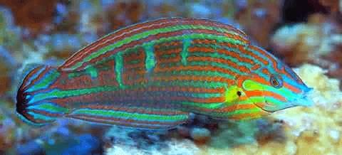 Melanarus Wrasse: Female - Fiji