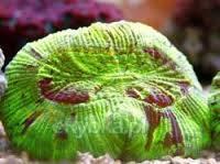 Brain Coral - Green - Australia