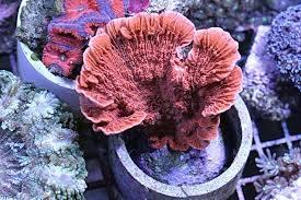 Montipora Capricornus Coral Cultured: Super