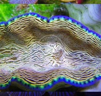 Derasa Clam Captive Bred Clams Invertebrates