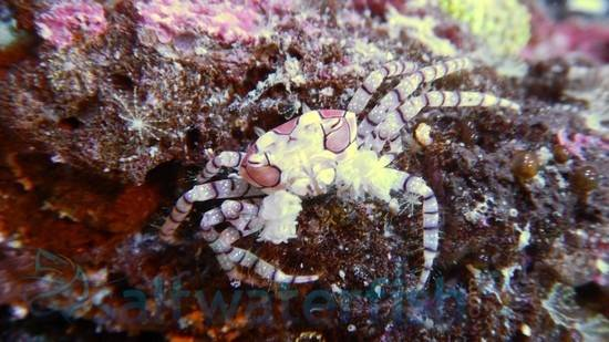 Boxing Crab Crabs Invertebrates