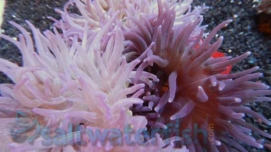 Long Tentacle Anemone: Purple