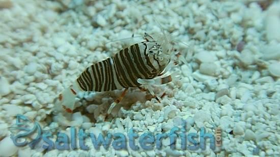 Zebra Shrimp - Super Special