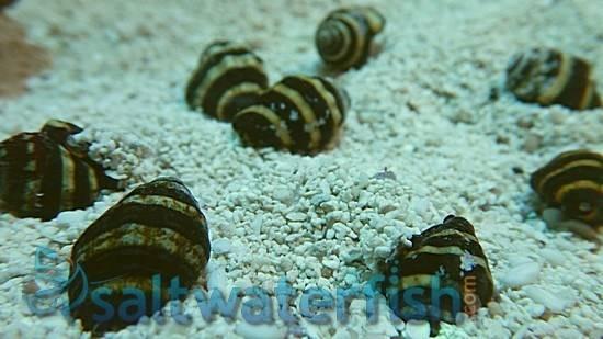 Bumble Bee Snail