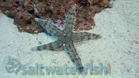 Sand_Sifting_Starfish__Limit_1_Super_Special