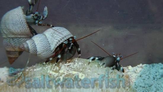 Zebra Reef Hermit Crab - Red Sea