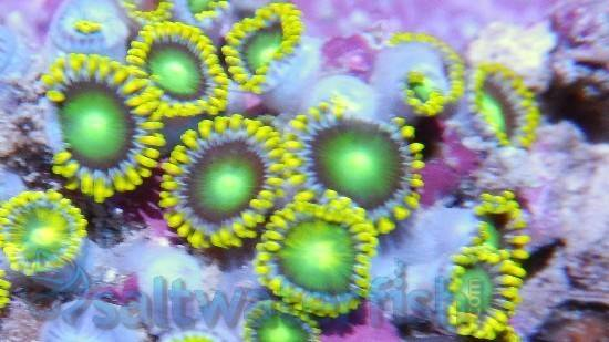 Colony Rock (Zoanthid): Green Super