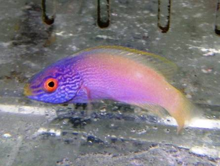 Rhomboid Golden Fairy Wrasse - Male