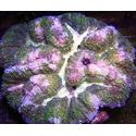 Symphyllia Brain Coral: Color