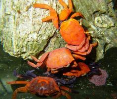 Red Fiddler Crab