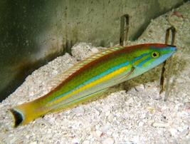 Small Tail Pencil Wrasse