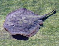 California Stingray