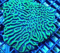 Platygyra Maze: Neon Yellow w/ Green