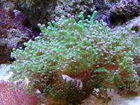 Frogspawn Wall Coral: Color - Australia