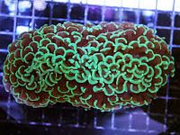 Hammer Wall Coral: Color - Australia