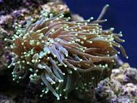 Torch Coral: Colored