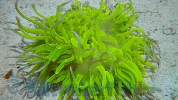 Long Tentacle Anemone: Ultra