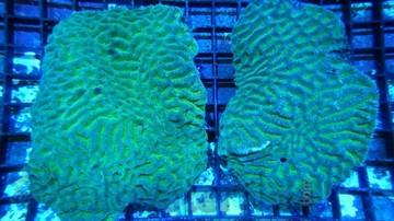 Platygyra Brain Coral Worm Scribble: Color - Fiji