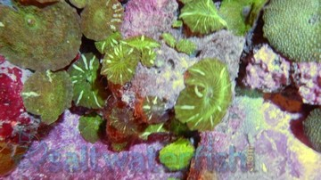 Mushroom Coral: Purple Speckled - Central Pacific