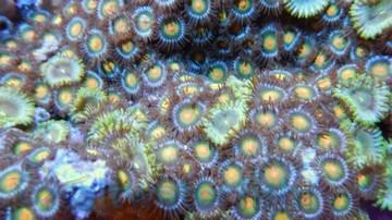 Colony Rock (Zoanthid): Orange