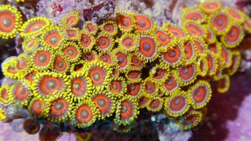 Colony Rock (Zoanthid):Eagle Eye Super