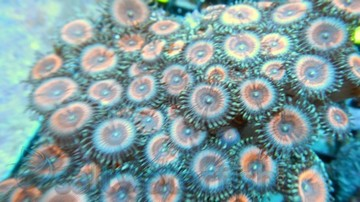 Colony Rock (Zoanthid): Pink