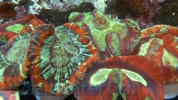 Brain Coral: Metallic Green - Australia
