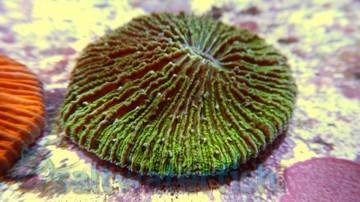 Fungia Plate Coral: Neon Green