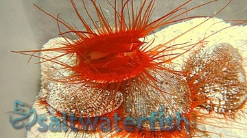 Flame Scallop - Super Special 43% OFF