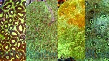 Favites Moon Brain Coral: Color