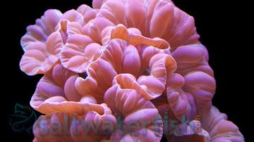 Fox Coral
