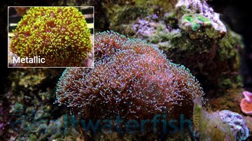 Galaxea Coral: Green - Central Pacific